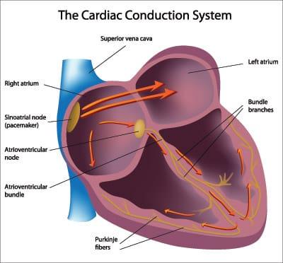 sinus rhythm heart illustration