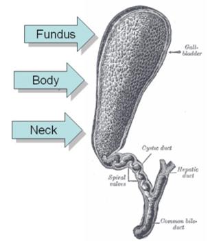 gallbladder duct